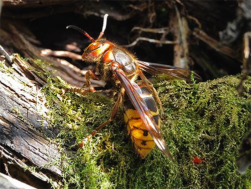 Прежде чем начать борьбу с шершнями, нужно определить, это единичные насекомые или где-то недалеко есть их гнездо.