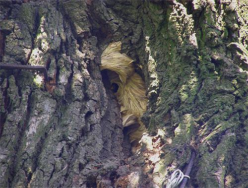 Если гнездо шершней находится в лесополосе, то найти его бывает довольно сложно.
