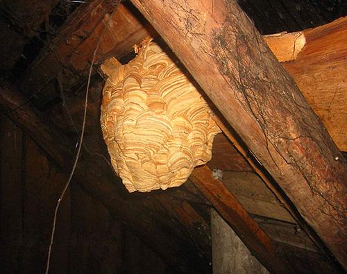 При размещении шершнями гнезда в деревянной постройке, бороться с ними с помощью пожароопасных средств ни в коем случае не следует.