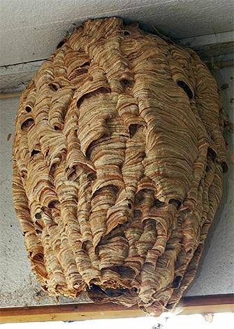 Если шершней на даче стало много, придется поискать их гнездо