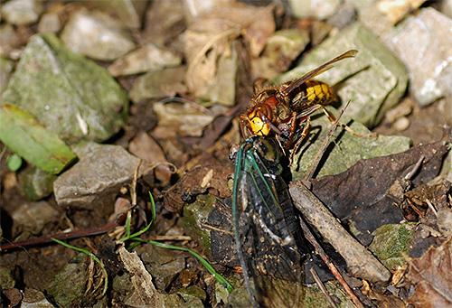 Шершни, так же как и осы, питаются другими насекомыми, а значит, помогают дачнику избавляться от различных вредителей огорода