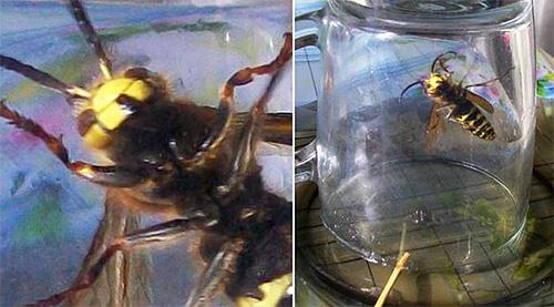 Летающее по кухне насекомое можно поймать с помощью обычной стеклянной банки