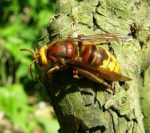 При укусах ядовитых насекомых в большинстве случаев будет уместно принять те же меры, что и при укусе шершней.