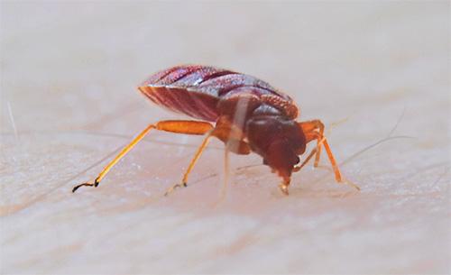 Укусы кровососущих паразитов тоже могут приводить к тяжелым последствиям, особенно у аллергиков.
