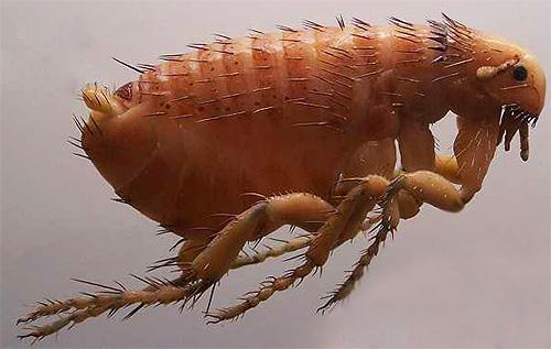 Если в квартире появились маленькие насекомые, способные прыгать - это значит, что бороться с этими кровососущими паразитами нужно незамедлительно, о чем мы дальше и поговорим.