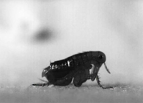 В отличие от многих других кровососущих паразитов, блохи легко могут менять своего хозяина