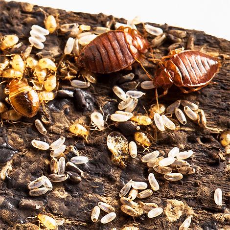 На фото показаны взрослые клопы, их личинки и яйца
