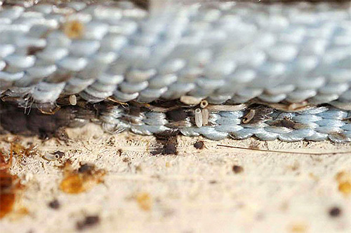 Нужно учитывать, что не все инсектицидные средства воздействуют на яйца клопов
