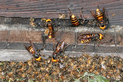 Азиатские шершни с легкостью уничтожают целые семьи медоносных европейских пчел