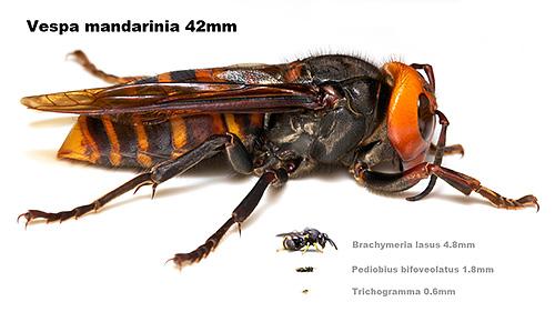 В азиатских странах шершня Vespa Mandarinia называют пчелой-воробьем за большие размеры