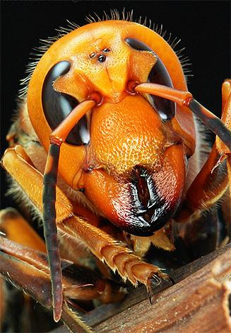 На фото хорошо можно разглядеть три дополнительных глаза на голове насекомого