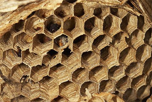 Свои гнезда гигантские азиатские шершни строят из пережеванных кусочков древесной коры