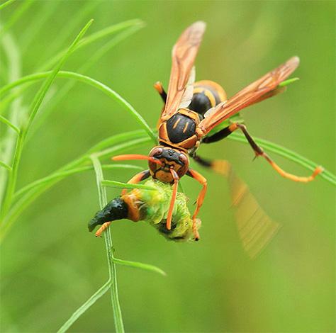 Шершень уносит мелких насекомых в свое гнездо для кормления личинок
