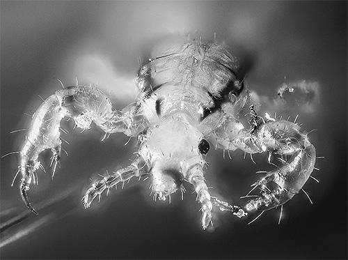 Так выглядит головная вошь под оптическим микроскопом