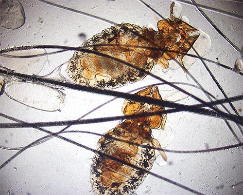 Кошачьи власоеды под микроскопом