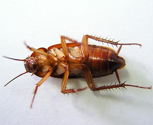 Содержащий инсектициды дым способен эффективно уничтожать тараканов и клопов в обычных квартирах.