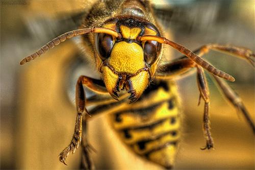 Подсознательно мы считаем шершней опасными насекомыми, и это находит свое отражение в снах