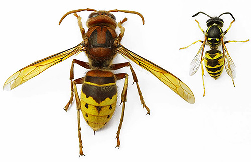 Хотя шершень намного крупнее обычной осы, но не намного опаснее ее