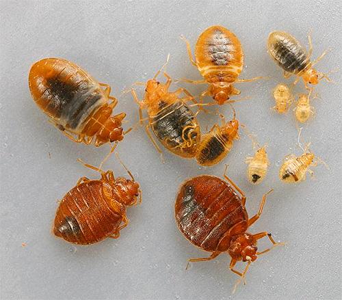 При наличии большого количества клопов в доме стоит воспользоваться инсектицидными концентратами.