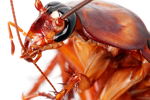 Хотя тараканы и не относятся к кровососущим насекомым, но иногда могут обкусывать частички эпителия у спящих людей.