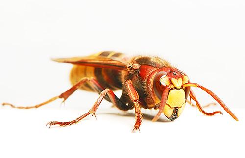 Зачастую постаревшая матка погибает от различных паразитов, которые поселяются в угасающем гнезде шершней.