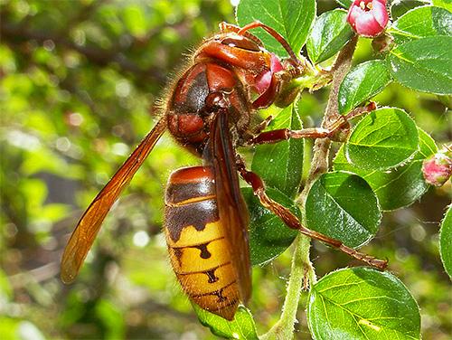 Вне гнезда матку шершней можно принять просто за крупного представителя этих насекомых.