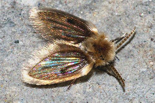 Бабочницы выглядят как маленькие пушистые мушки серого цвета