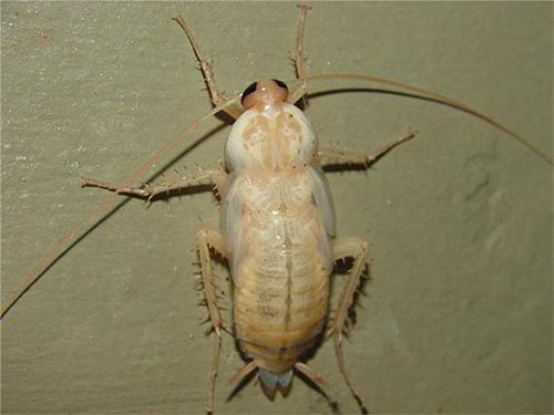 Недавно полинявший таракан имеет практически белый цвет