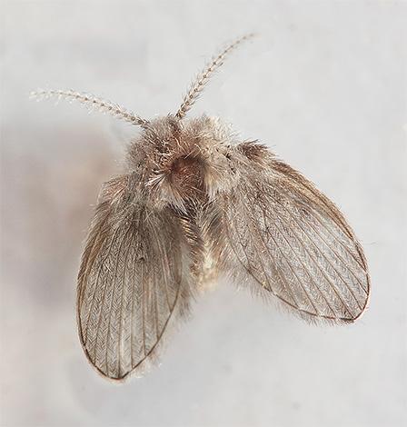 Бабочница - мелкая мушка сероватого цвета