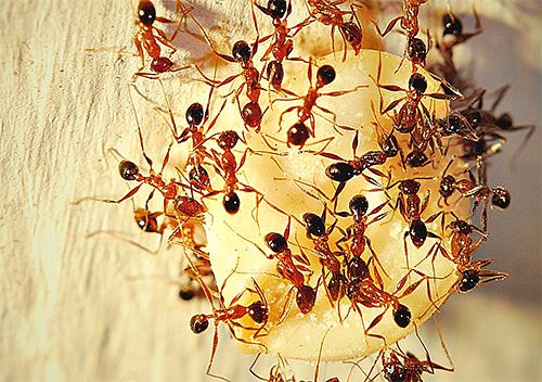 Мелких муравьев, обнаруженных в доме, иногда бывает довольно сложно вывести, так как они могут устраивать свои муравейники и вне помещения.