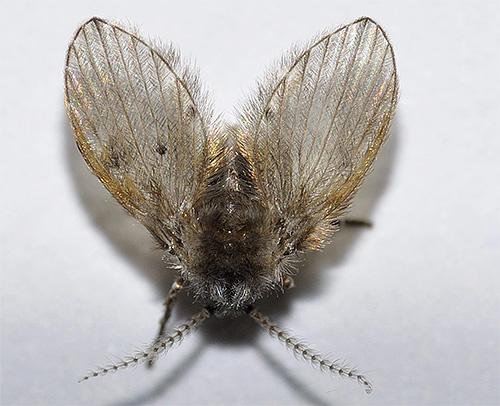 Если в ванной или туалете появились маленькие летающие насекомые - это вполне могут быть бабочницы