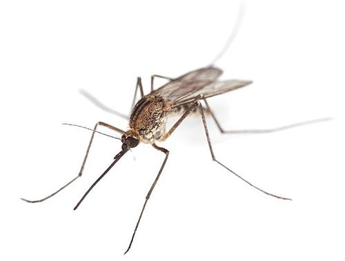 Комарам необходима влажная среда, чтобы размножаться, поэтому их также часто можно встретить в ванной