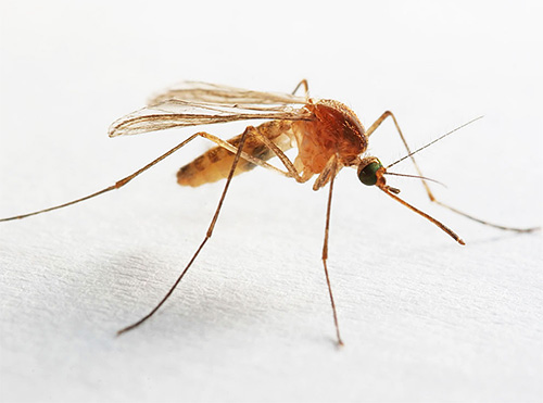 Комаров также можно встретить в ванной или туалете, в которых постоянно держится высокая влажность.