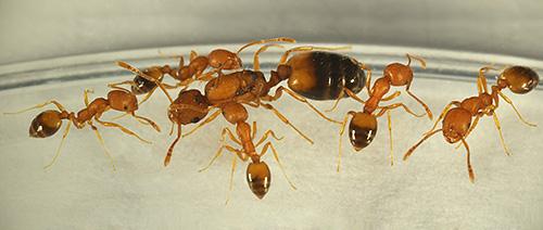Попробуем разобраться, откуда в доме обычно берутся муравьи и чем может быть опасным такое тесное соседство с ними...