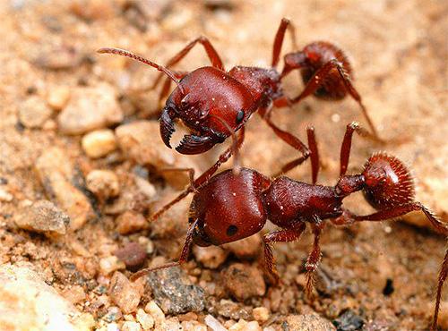 Хотя крупные муравьи и могут больно укусить, но они редко оказываются в помещении