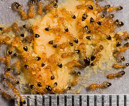 На фото показаны фараоновы муравьи
