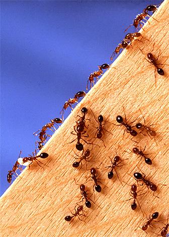 Борясь с муравьями в доме, важно не только избавиться от уже имеющихся насекомых, но и определить, а затем перекрыть пути их проникновения в помещение