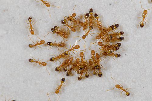 Маленькие рыжие муравьи в доме называются фараоновыми.