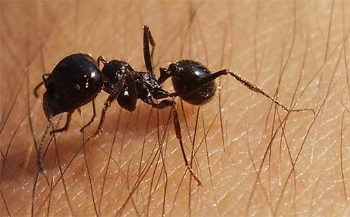 Иногда в доме можно встретить и случайно попавшего сюда муравья-жнеца