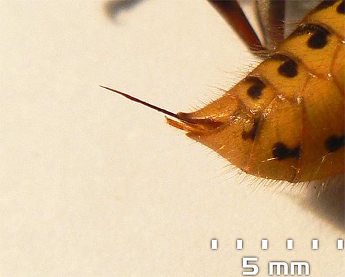 Жало шершня может достигать 5-6 мм в длину.