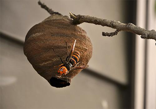Построив небольшое гнездо, матка японского шершня принимается за откладывание яиц