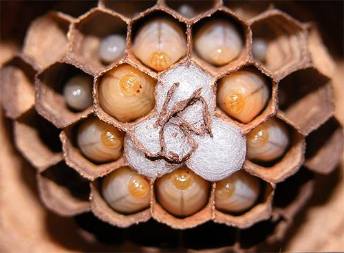Личинки японского огромного шершня в гнезде