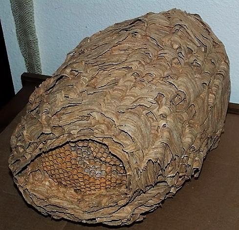 Пустое гнездо японских шершней