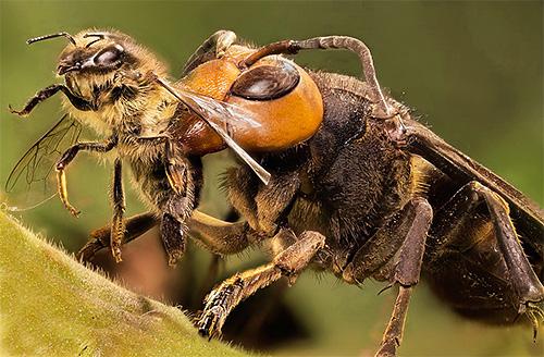 Гигантские японские шершни являются настоящей грозой для пасеки, так как способны массово уничтожать пчел.