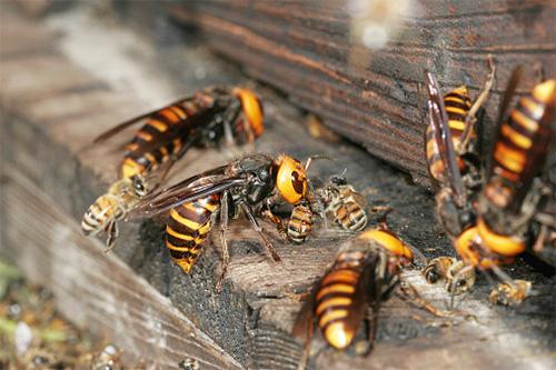 Нападать на пчелиный улей эти хищные насекомые предпочитают сообща...