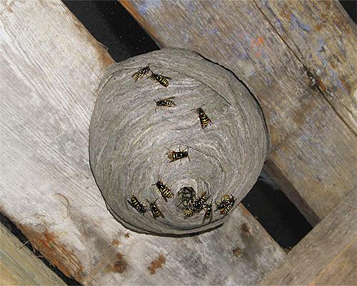На фотографии показан пример осиного гнезда