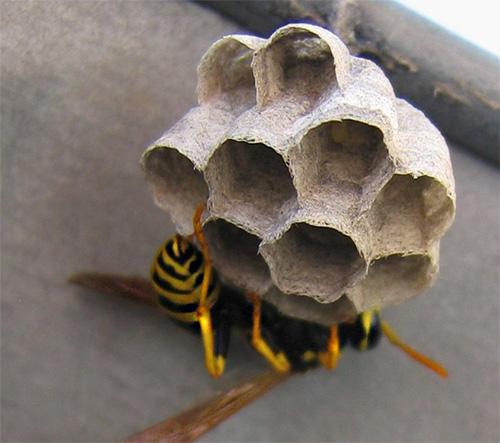 На фото показана начальная стадия постройки осиного гнезда.