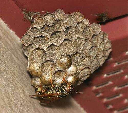 Насекомые делают свое гнездо из бумагоподобной массы, поэтому таких ос и называют бумажными.