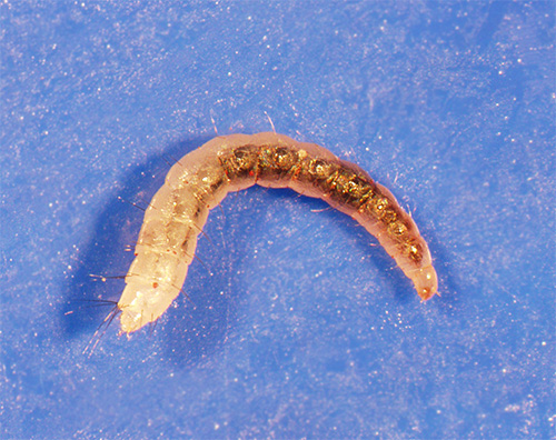 Личинка блохи на ковре
