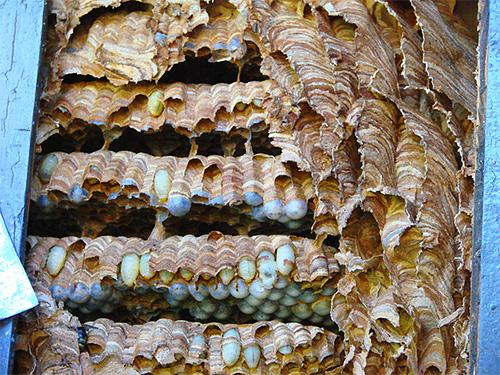 На фото видны личинки шершней в сотах гнезда